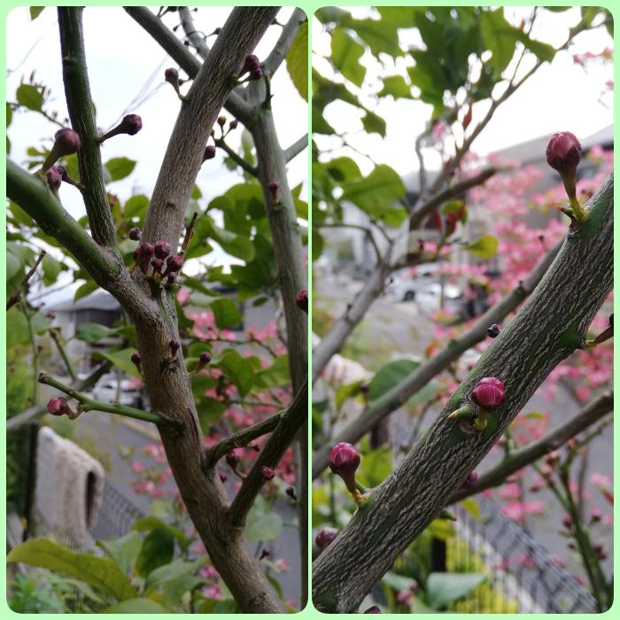4月26日幹から蕾collage
