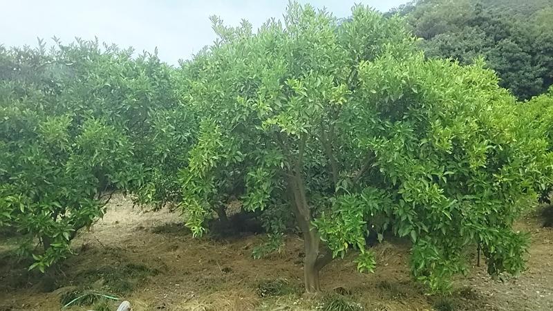 育て 木 方 の の レモン