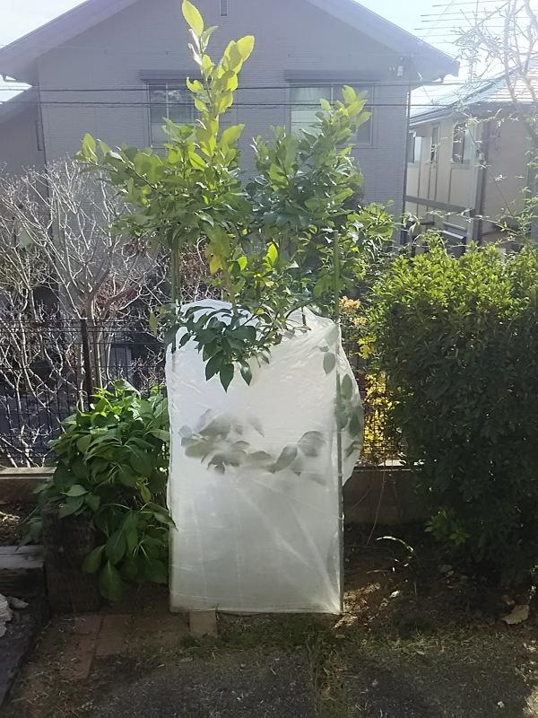 レモン の 木 地 植え